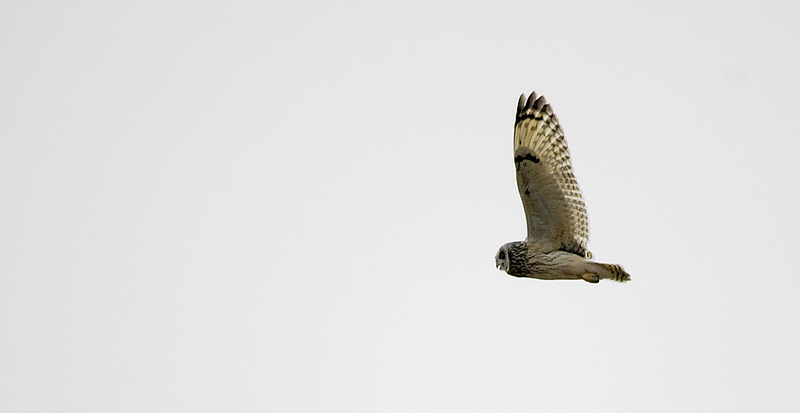 male Short-eared Owl calling in flight