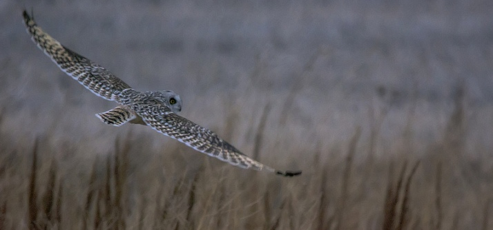 male Short-eared Owl