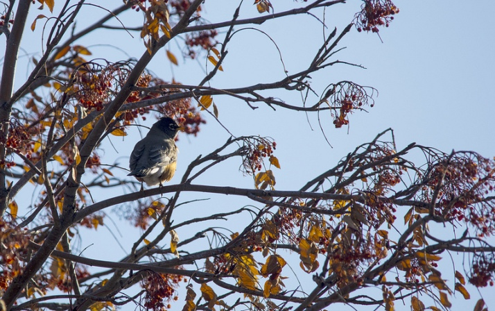 American Robin in mountain-ash berry tree