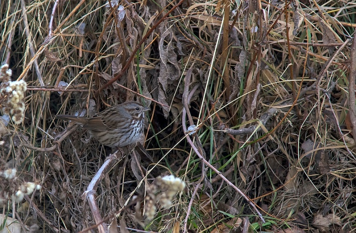 Song Sparrow, November 25, 2012, Votier's Flats