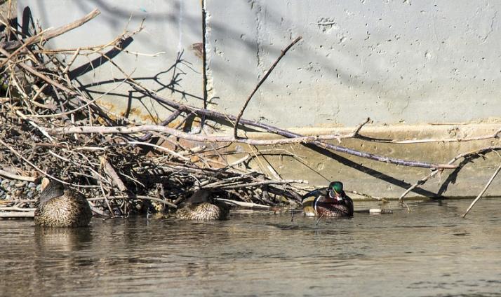 Wood Ducks and Mallard (far left)