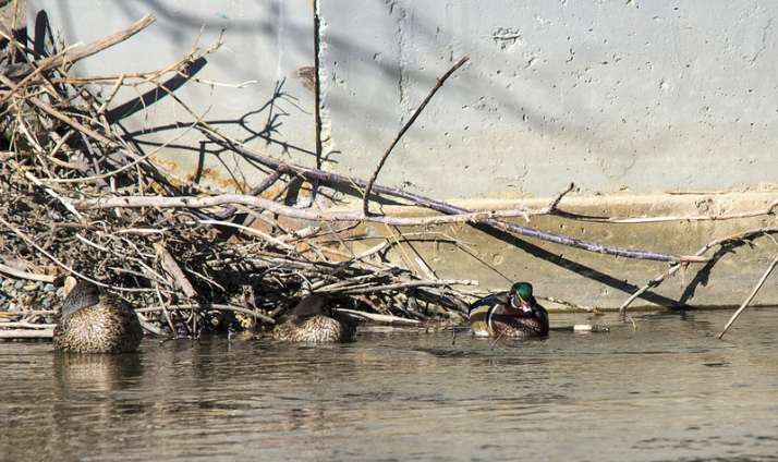 Wood Ducks and Mallard (far left)