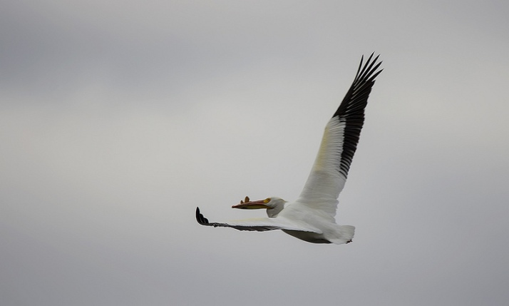 male American White Pelican