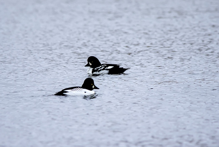 Barrow's Goldeneye (rear) and Common Goldeneye (front)