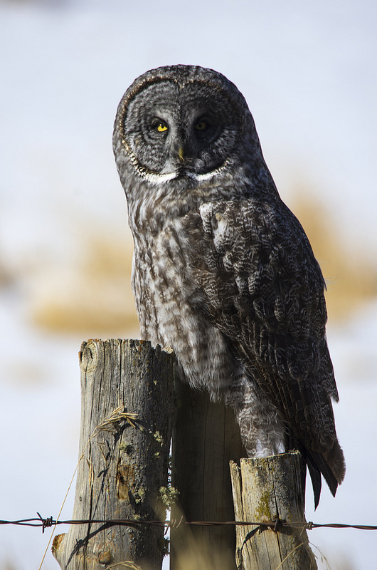 This Great Grey Owl was little wary when we first showed up...