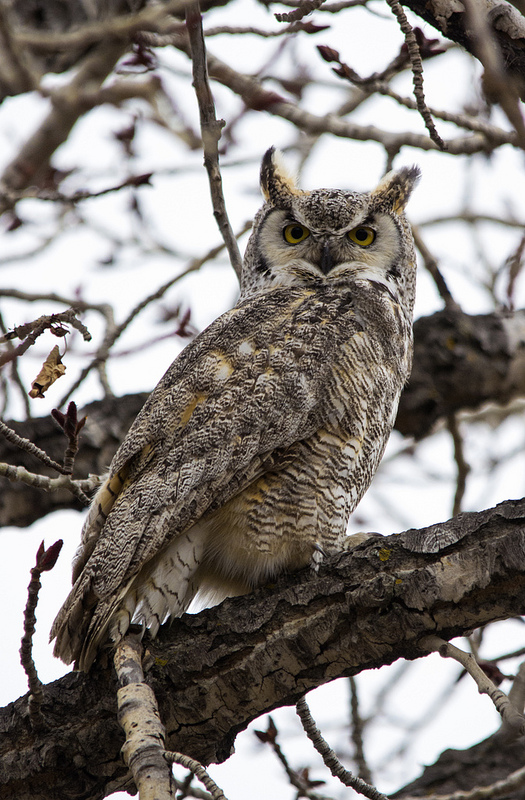 Protective male Great Horned Owl