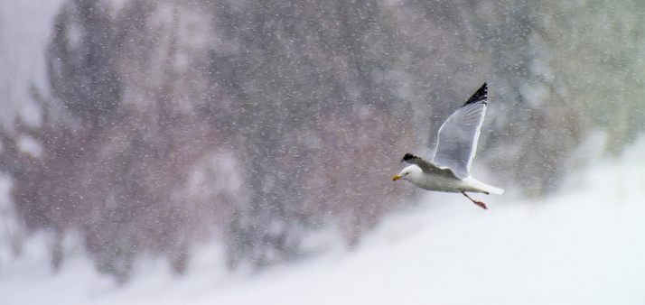 Herring Gull in flight in the snowstorm (digiscoped with Swarovski ATX 85 + Pentax K-30)