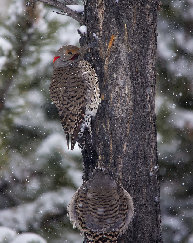 Male (above) and female (below) hybrid Northern Flickers