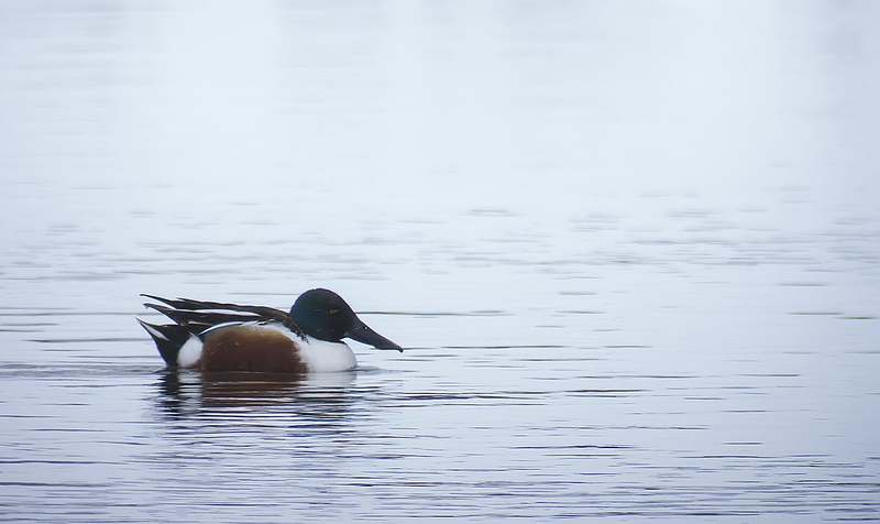 male Northern Shoveler (digiscoped with Swarovski ATX 85 + Pentax K-30)