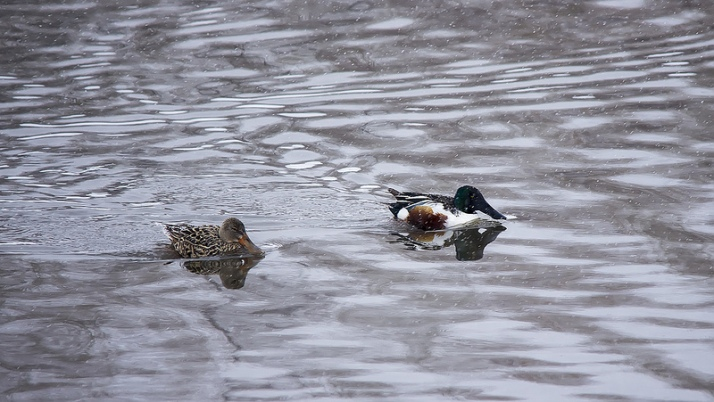 female (left) and male (right) Northern Shovelers