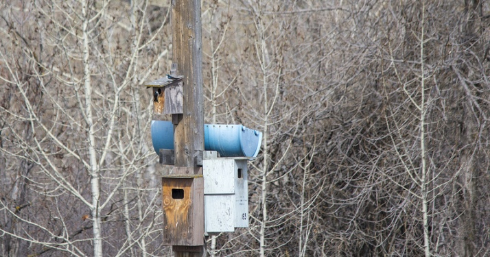Tree Swallows on nest box