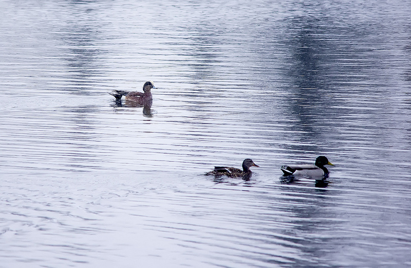 American Wigeon (rear) and Mallards (foreground)