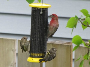 House finch, pine siskins at nijer feeder