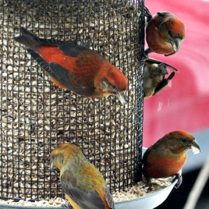 Crossbills at sunflower chips