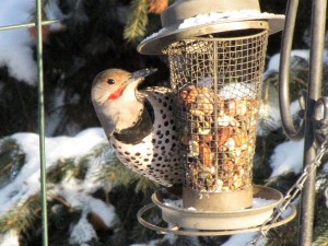 Northern flicker at peanut feeder