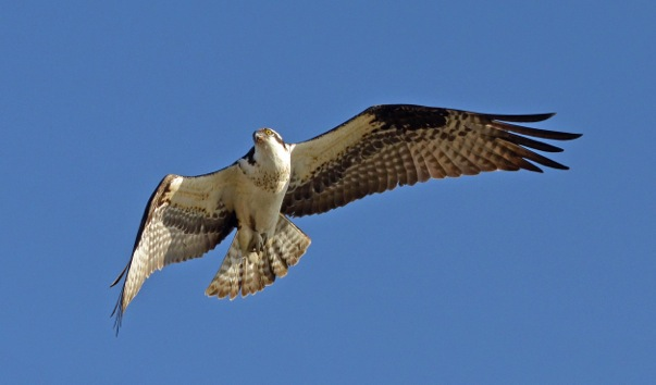 OSPREY TURNING_9726 copy