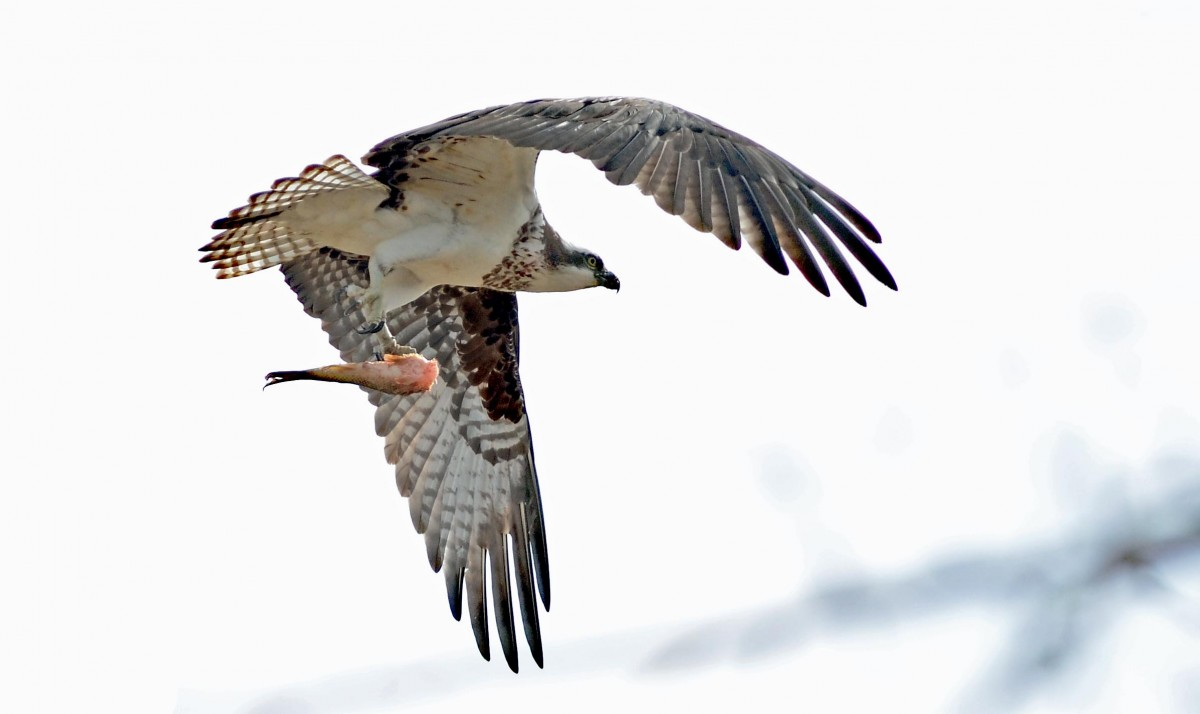 Osprey birds calgary for Wings fish