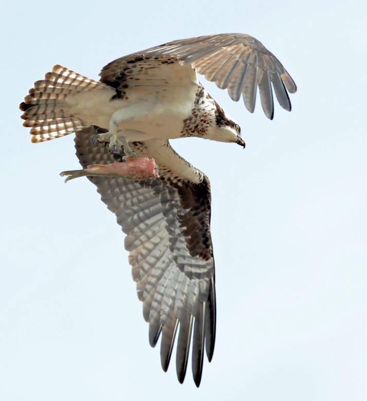 OSPREY WITH HALF FISH VERT_0235 copy