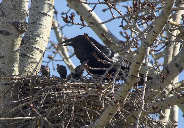 Common Ravens