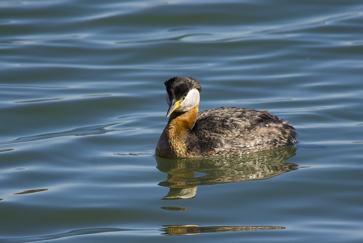 Red-necked Grebe on Glenmore Reservoir - 1/800, F6.3, ISO640, 500mm, Pentax K-5 + Tamron 1.4x TC