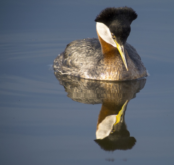 Red-necked Grebe at Frank Lake - digiscoped with Swarovski ATX 85
