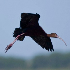 White-faced Ibis by Dan Arndt