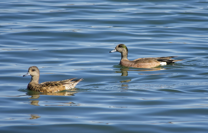 American Wigeon: female (l) and male (r)