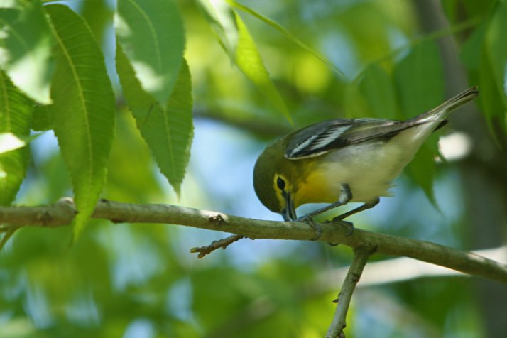Yellow throated Vireos were common throughout the woods.