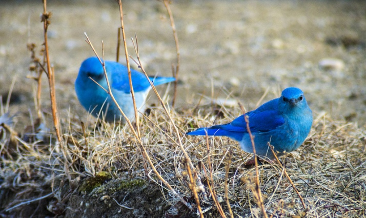 male Mountain Bluebirds